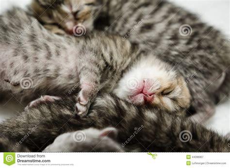 sleeping on short hair sleeping american short hair kitten stock photo image