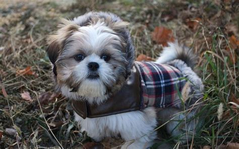 oldest living shih tzu shih tzu a for apartment and k9 research lab