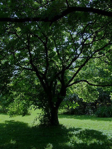 summer magnolia tree shade by martin morehead