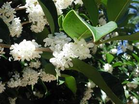 Fragrant Olive Plant - fragrant tea olive gin mokusei nature photo gallery
