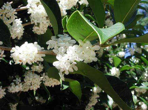 fragrant tree fragrant tea olive gin mokusei nature photo gallery