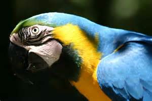 file blue and gold macaw head jpg wikimedia commons