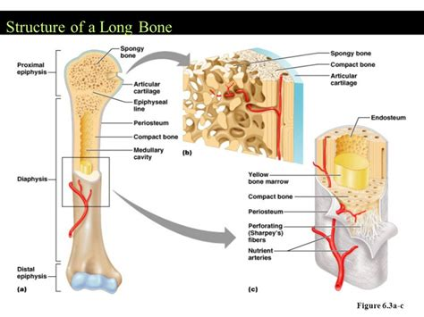labeled bone diagram bone structure labeled anatomy organ