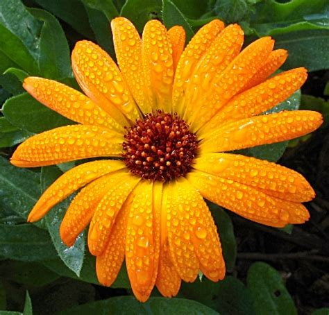 mami made it october birth flower blume des calendula flower facts and meaning october birth flower