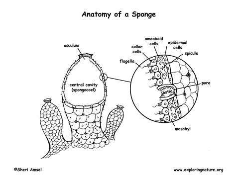 diagram of sponge phylum porifera sponges