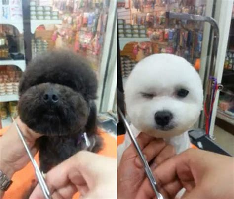 round face dog cut dogs are getting their hair cut to have square round heads