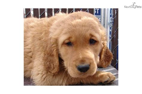 american golden retriever puppies meet blaze a golden retriever puppy for sale for 800 all american golden
