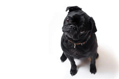 what is the pugs name in in black black pugs is the less popular black that much different to the fawn