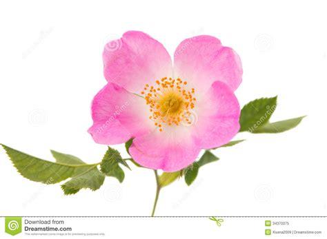 wild rose iowa state flower travel iowa usa wild rose flower royalty free stock photo image 34370075