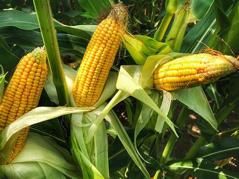 Point One Crop crop conditions decline corn maturity delayed agweb