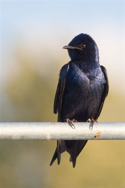 purple martin wikipedia