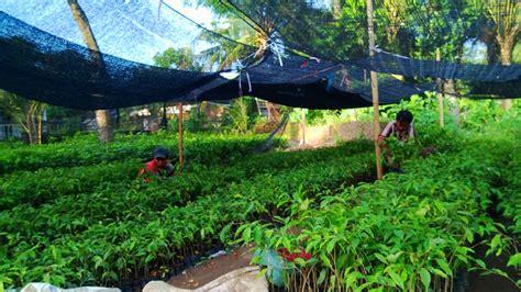 Jual Bibit Cendana Di Medan jual bibit gaharu di medan jual bibit tanaman unggul