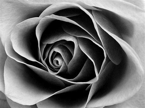 white and black black and white roses cliparts co