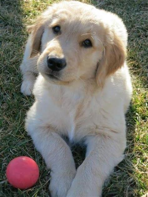 golden retriever praying 1131 best images about things on chihuahuas huskies puppies and