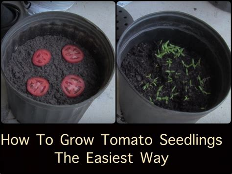 grow tomato seedlings  easiest