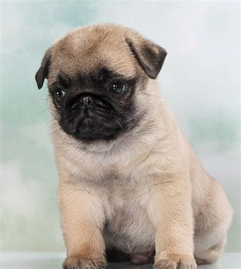 really pug 1000 ideas about pug puppies on pug puppies pugs and baby dogs