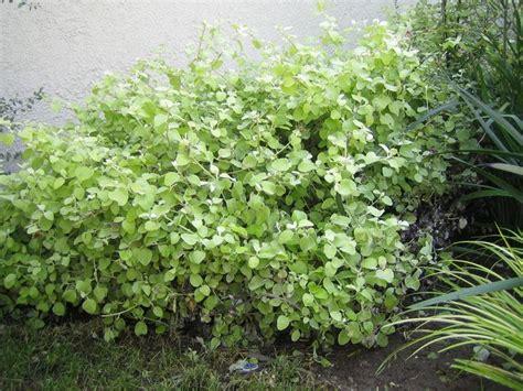 pianta di liquirizia in vaso pianta liquirizia aromatiche pianta liquirizia