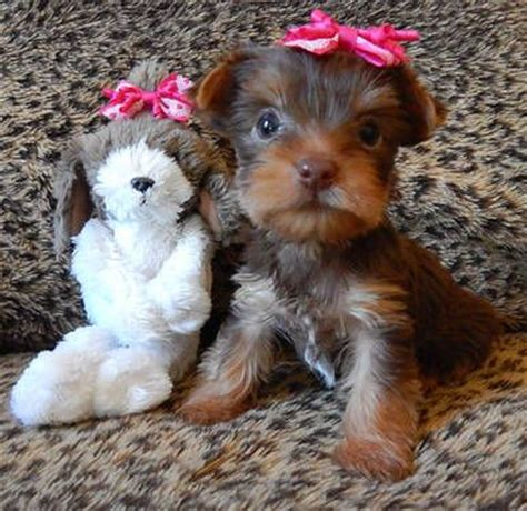 chocolate yorkies alaska 17 best images about teacup yorkies on