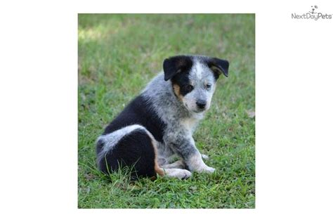 australian shepherd blue heeler mix puppies for sale heeler australian shepherd mix puppies for sale in blue heeler breeds picture