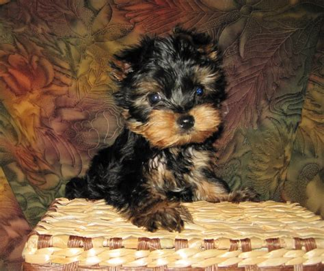 best food for teacup yorkie puppy terrier puppies for sale teacup yorkie puppies