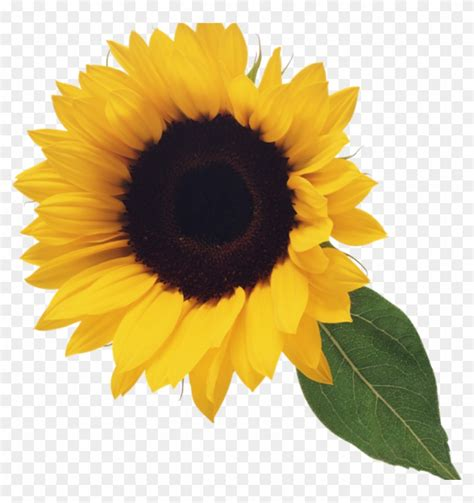 clipart for free sunflower clipart free sunflower clip clipart free