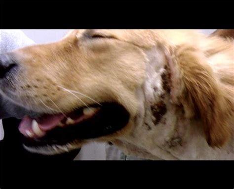 golden retriever dermatitis what is a quot spot quot the vet