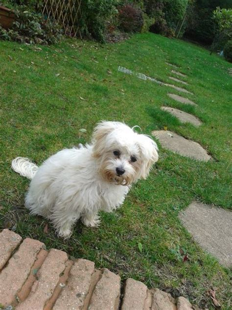 shih tzu rescue kent dolly shih tzu x located in kent south east pets4homes