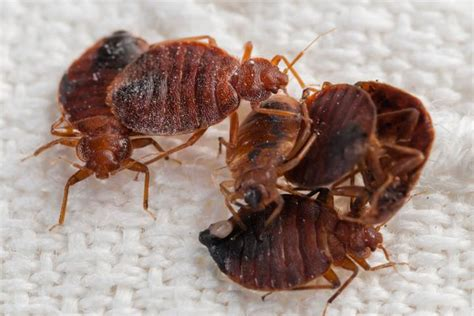 causes of bed bugs hoarding neighbour causes bed bug nightmare for condo
