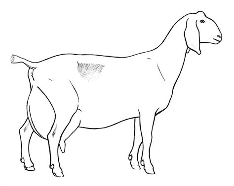 Nubian Goat Coloring Pages | how to draw goat and kid