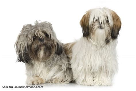 span of a shih tzu different kinds of shih tzus hairstylegalleries