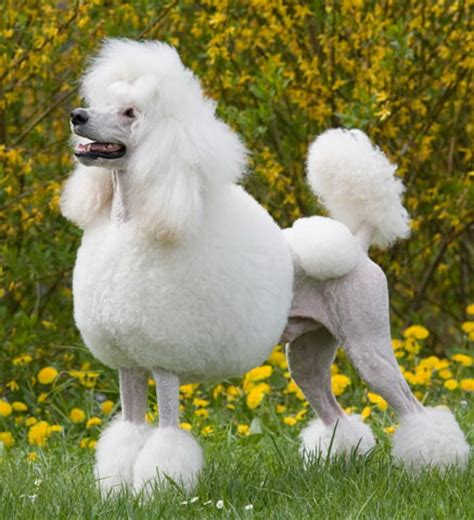 pictures of poodle puppies dogs pets poodle pictures gallery