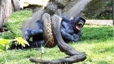anaconda  baboon real fight wild animals attack youtube
