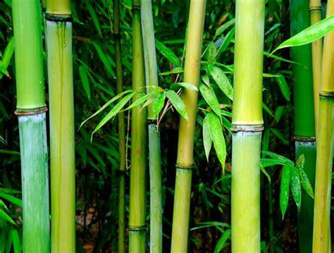 imagenes bambu japones 191 conoces el cuento del bamb 250 japon 233 s ideal para cultivar
