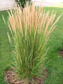 ornamental grasses calamagrostis and miscanthus