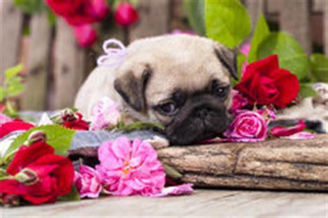 san carlino fiore cucciolo e rosse immagine stock immagine di