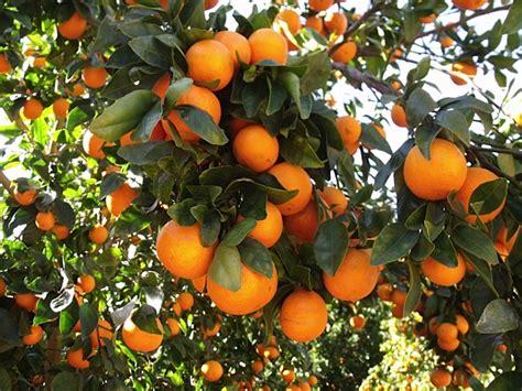 when do satsuma trees produce fruit ojai pixie tangerines sweet and delicious likes