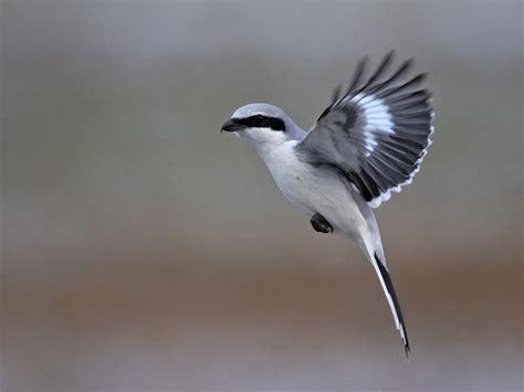 bird knocking on windows