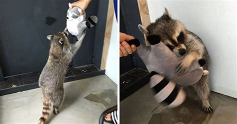 trash panda pics  prove theyre  cutest animal