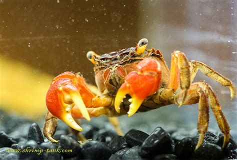 red claw crab red clawed crab care freshwater crab freshwater tank crabs images