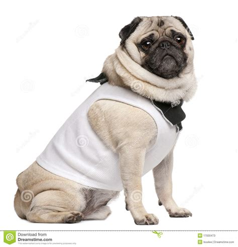 4 year pug pug 4 years dressed up and sitting stock photos image 17000473