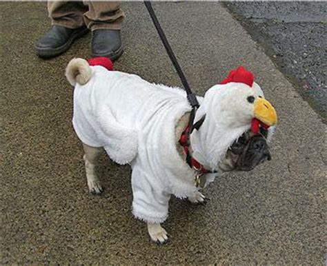 chicken pug what should your wear to the next kfc demo peta s peta