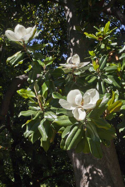 flowering magnolia tree at capitol park in sacramento