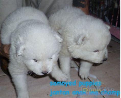 samoyed husky mix puppies for sale pomeranian husky mix puppies for sale in pa yumingsu samoyed x husky breeds picture