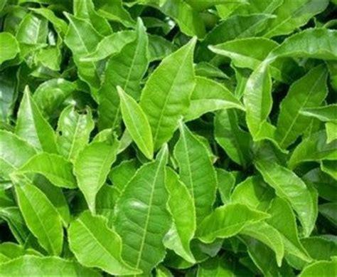 Teh Hijau Asli Cap Daun manfaat daun teh untuk obat tradisional tanaman