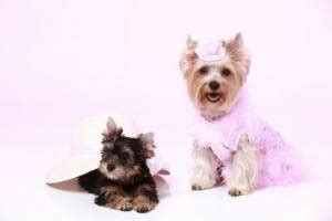teacup yorkie span the about teacup yorkies everything you need to about teacup mini micro