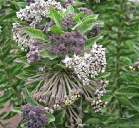 Asclepias cancellata | Wild Cotton| plant lust Asclepias Cancellata