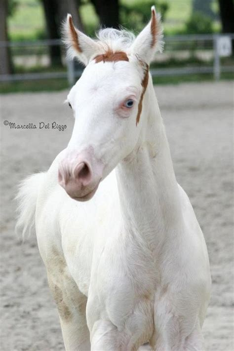 this foal is a maximum white sabino because the only coloring he has is on his but he is