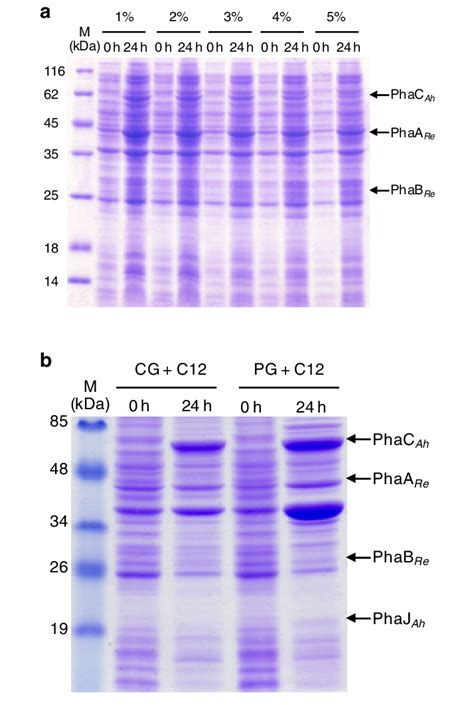 protein expression sds page analysis of protein expression a protein