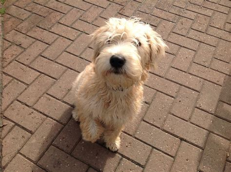 soft haired wheaten terrier puppy soft coated wheaten terrier puppies whitchurch shropshire pets4homes
