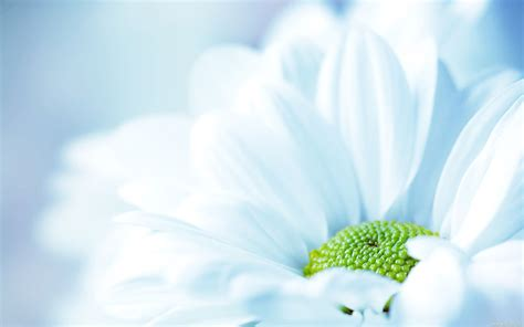 Light Blue Chrysanthemums Flower Wallpapers Free Light Flowers